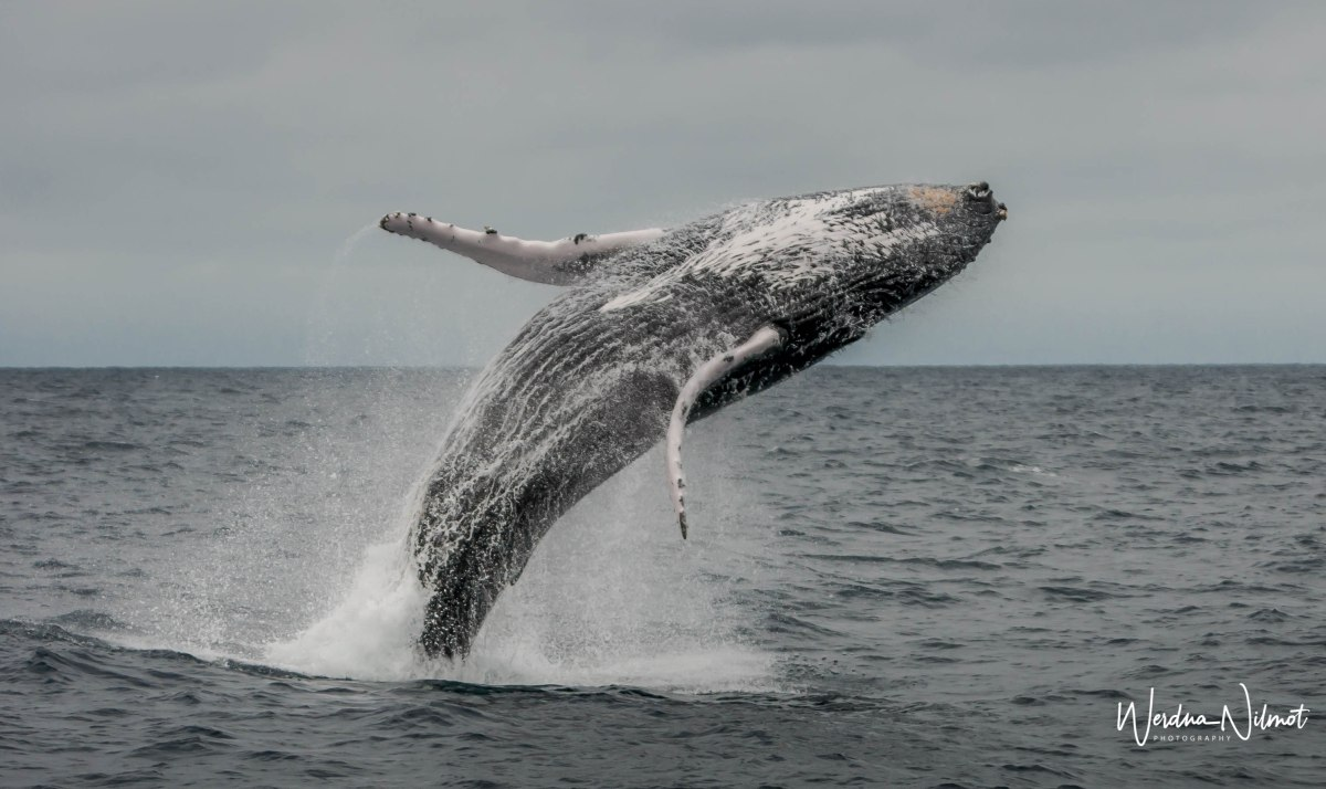 A Whale of a Good Time (…in search of Humpback Whales along Ecuador'scoast)