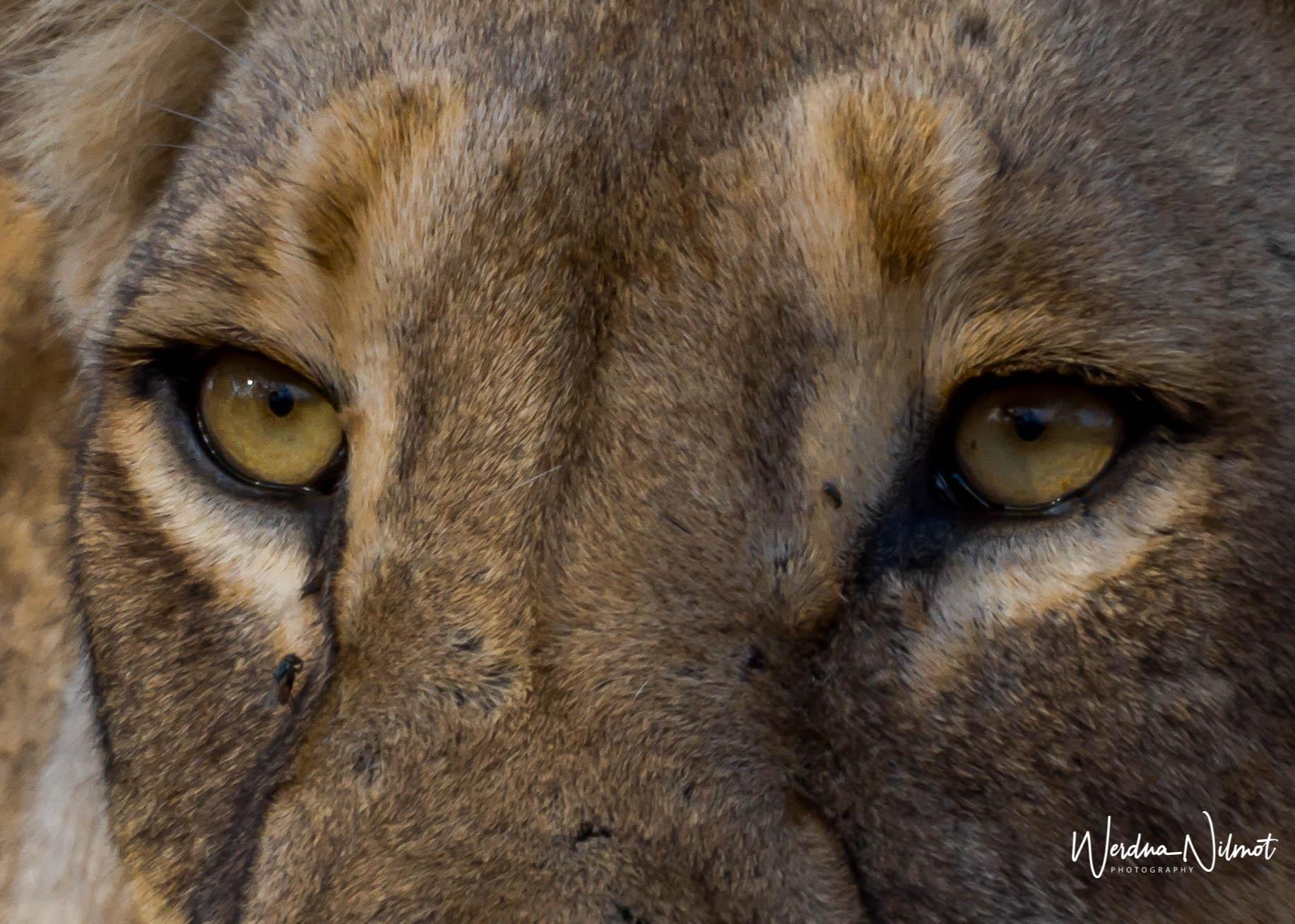 lioness-8323